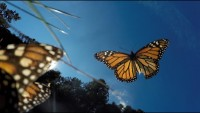 Amazing Monarch Butterflies