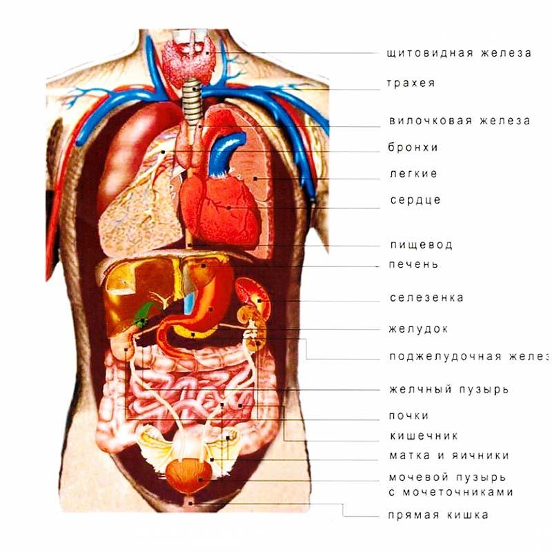 органы человека пораженные паразитами